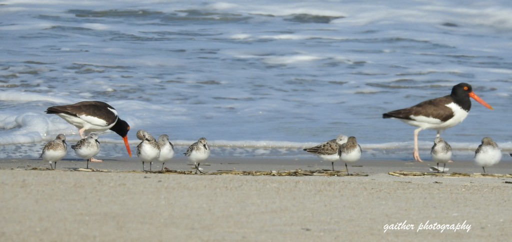 Sanderlings and oyster catchers